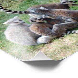 Ring Tailed Lemur Family photoenlargement