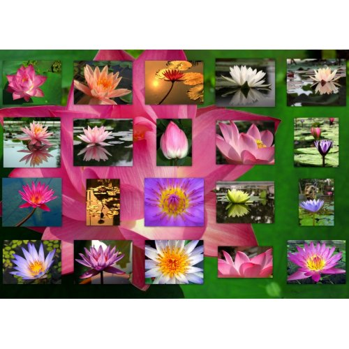 A Collage of Beautiful Water Lily and Lotus Images print