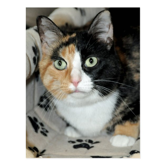 American Shorthair Calico Shelter Cat Postcards