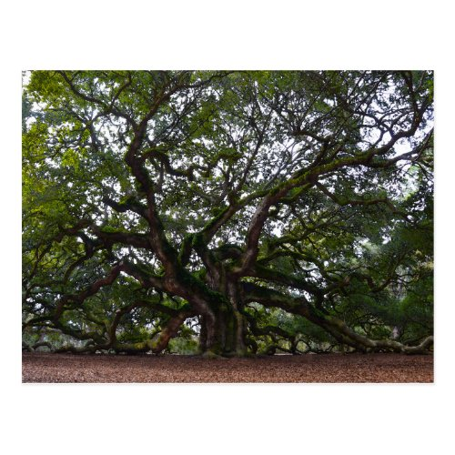 Angel Oak, John's Island, South Carolina Postcard