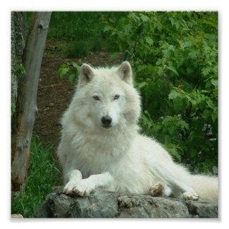 Arctic Wolf Print