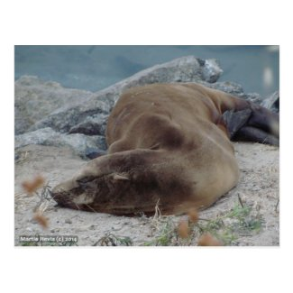 Asleep on the Rocks (Sea Lion) Post Cards
