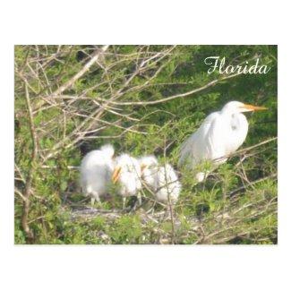 Baby Birds in Florida Postcard