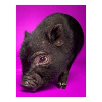 Baby Black Pig Post Cards