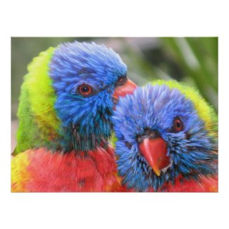 Baby Rainbow Lorikeets Print