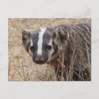 Badger Staredown Postcard postcard