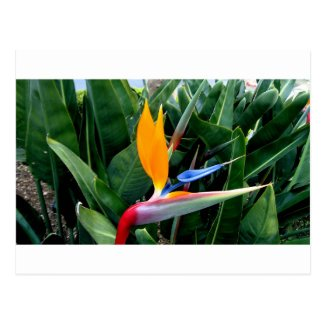 Bird Of Paradise Flower - California Post Cards