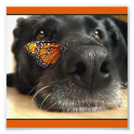 BLack Lab Dog With Butterfly Photo Print