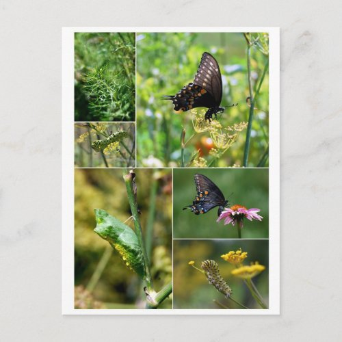 Black Swallowtail Butterfly Life Cycle Postcard postcard