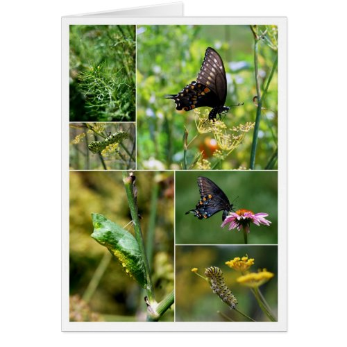 Black Swallowtail Butterfly Lifecycle Collage card