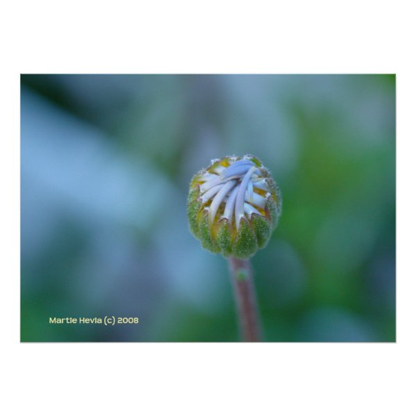 Blue Daisy Bud Posters