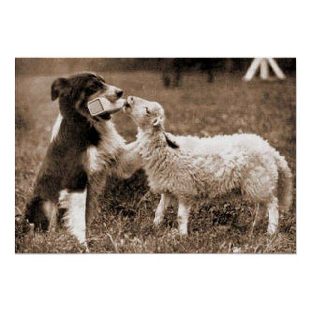 Border Collie And LambBorder Collie Poster
