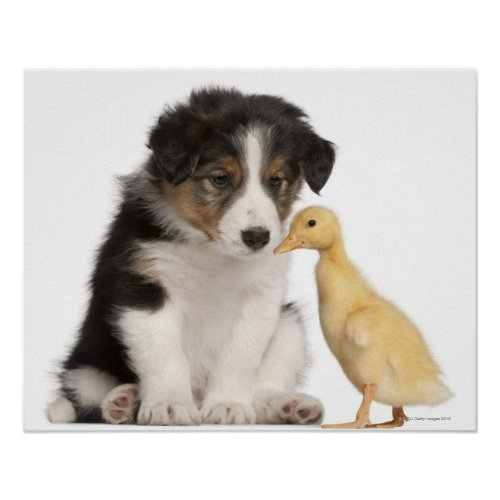 Border collie puppy (6 weeks old) playing with poster
