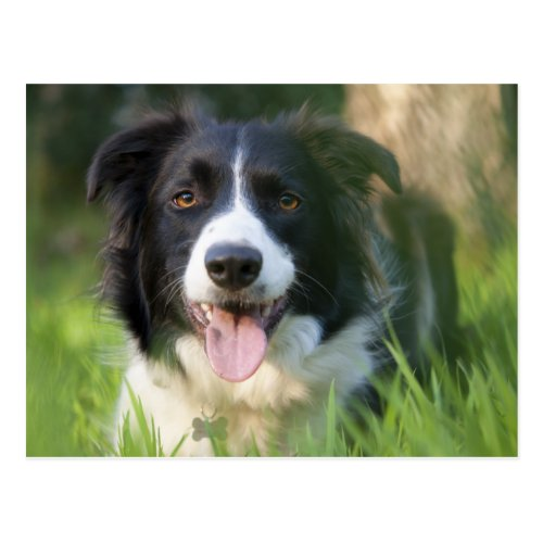 Border Collie Puppy Dog - Blank Postcard