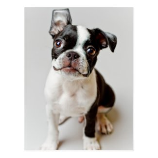 Boston Terrier dog puppy. Postcard