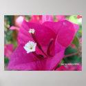 Bougainvillea Blossom Print