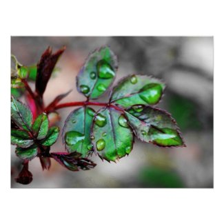 Budding Rose Leaves with Water Droplets