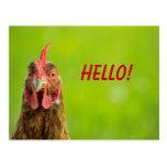 Chicken Hello Postcard