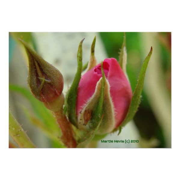 Closed Rose Bud Poster
