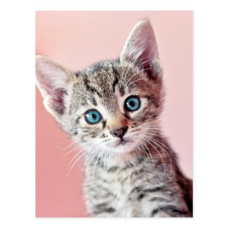 Cute kitten with blue eyes. post card