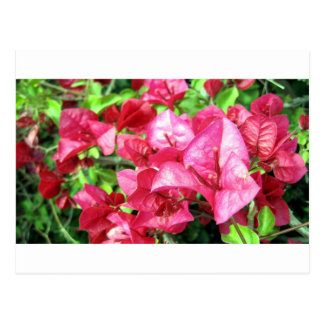 Dark Rhododendron in California Postcards