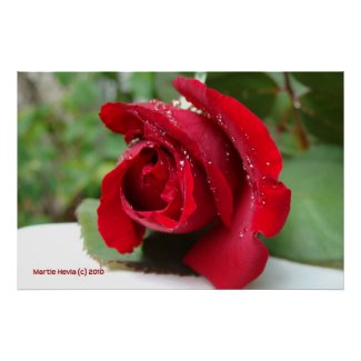 Dew on a Red Rose Print