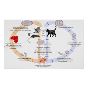 Diagram of the Life Cycle of Toxoplasma Gondii Poster | Zazzle