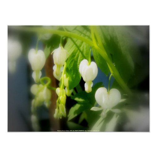 elegant white bleeding hearts print