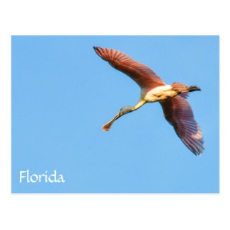 Flying Florida Spoonbill Postcard