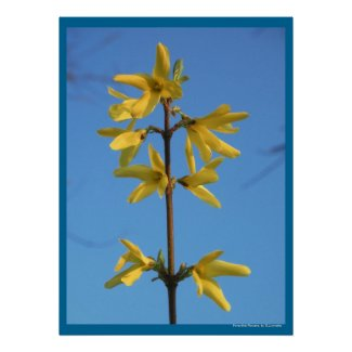 Forsythia Flowers Poster Print by S.Lynnette