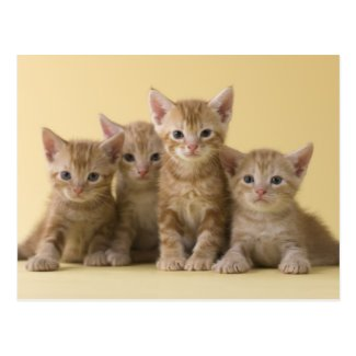 Four American Shorthair Kittens Post Cards