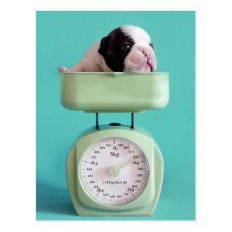 French bulldog puppy checking weight. postcard
