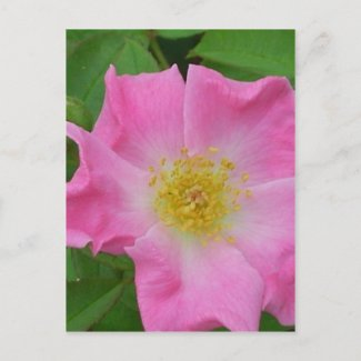Garden Rose - CricketDiane Floral Photographic Art postcard
