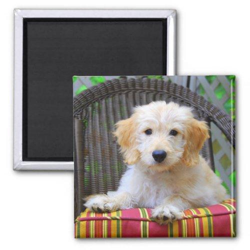 Golden Doodle Puppy Magnet