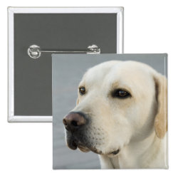 Golden Labrador Retriever Photograph Pinback Button