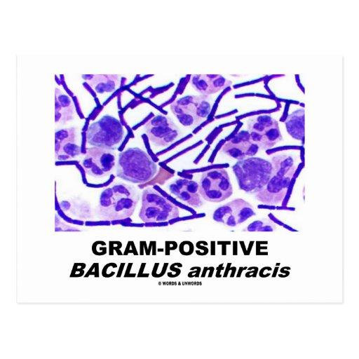 Bacillus Anthracis Bacteria