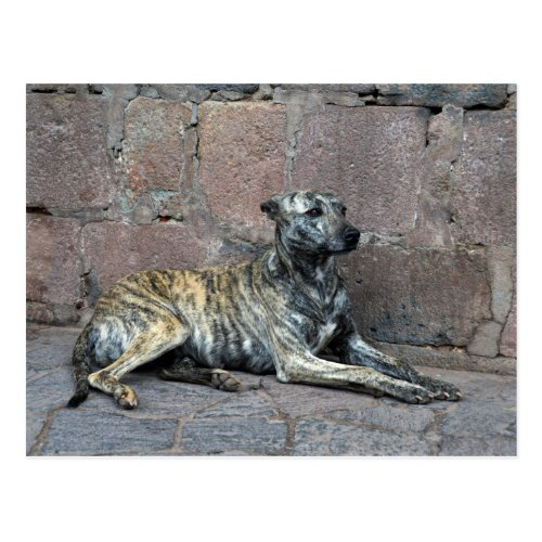 Gray-Striped Dog in Cusco, Peru Postcards