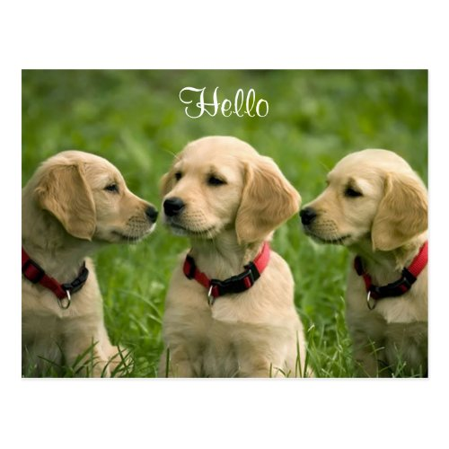Hello Golden Retriever Puppies Postcard