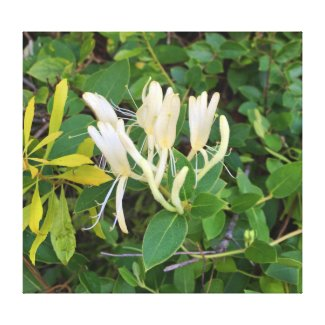 HoneySuckle Blooms in South Carolina Canvas Print
