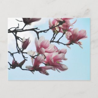 Pink Magnolias Post Card by S.Lynnette