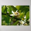 Lemon Blossom Bee (2) Poster