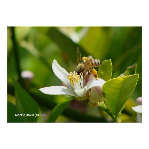 Lemon Blossom Bee (3) zazzle_print
