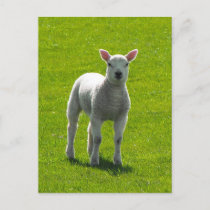 Little Lamb postcards