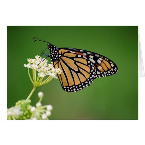 Monarch Butterfly on White Swamp Milkweed Flower C Greeting Card