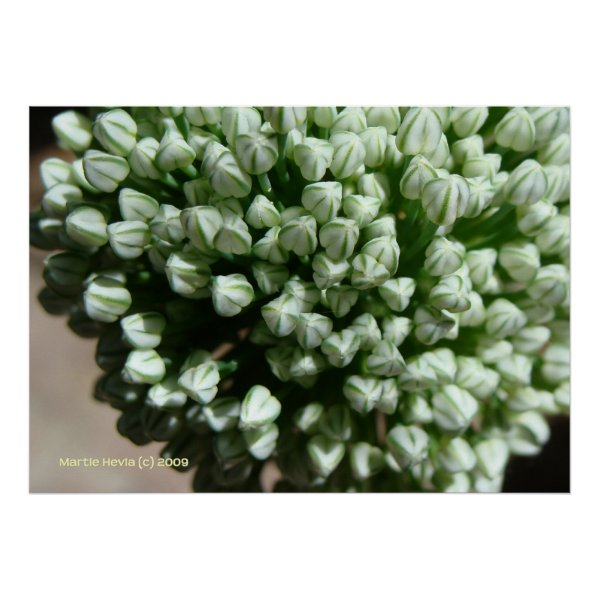 Onion Flower Buds Poster