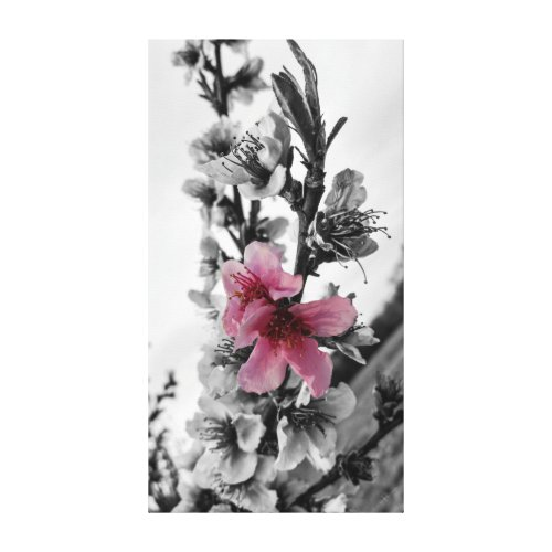 Peach Blossoms Spring Through Canvas Print