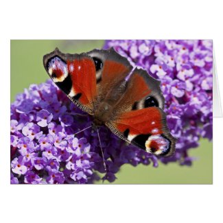 Peacock Butterfly Card