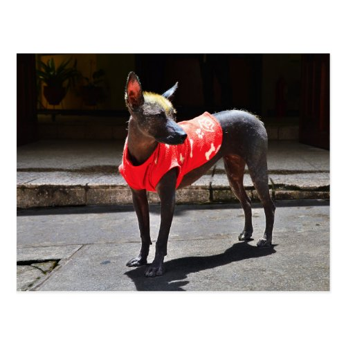 Peruvian Hairless Dog Post Card