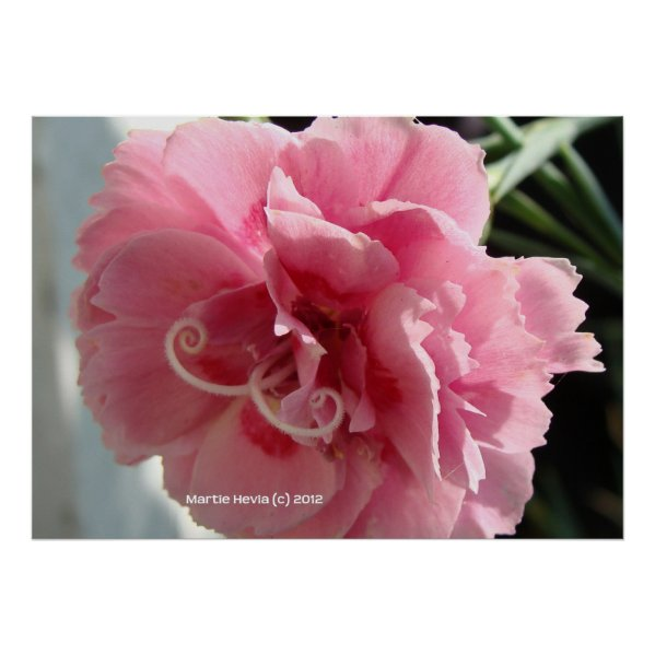 Pink Carnation Close-Up Posters