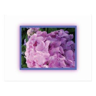 Pink Hydrangea Postcard